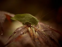 Greater AngleWing Katydid August - 2014 - 26 - 2 by toshema