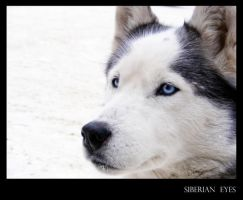 Siberian Eyes by CoolNightAir