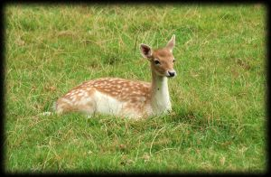 young fallow deer by pagan-live-style