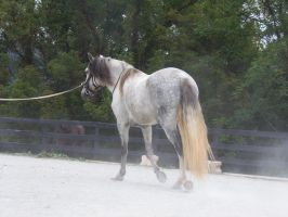 Lusitano Stock 7 by Marzipan-Stock