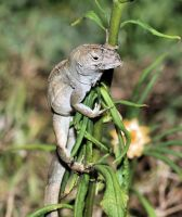 Anole Poser by craftworker