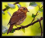 Juvenile Robin II by andy-j-s
