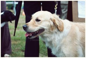 2010 . Golden retriever by Tollerka