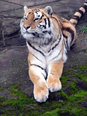 Amur Tiger 4 stock by thiselectricheart