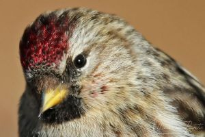 Redpoll Close-Up by mydigitalmind