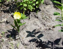 Yellow Flower in the Dirt by Biohaz-Daddy