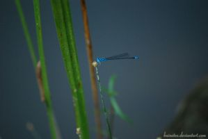 Blue Dragon Fly by baineteo