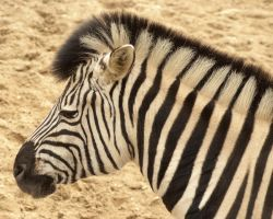 Zebra portrait by steppelandstock