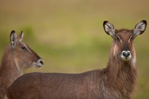Waterbuck by catman-suha