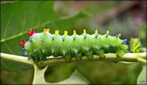 Cecropia moth larva - 1 by J-Y-M