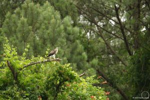 Buteo jamaicensis by eagle79