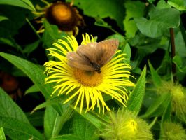 Meadow Brown by iriscup