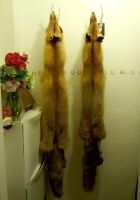 Winter fox pair for sale (only male now) by Kirin-Hunter