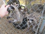 Young Raccoons 12 by Windthin