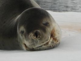 Leopard Seal Old Guy by Wildfire47