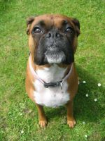 My Boxer Dog 1 RIP by sonicrules100