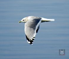 Seagull In Motion by wolfwings1