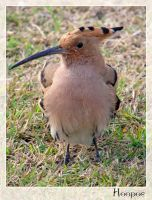 Hoopoe by maska13