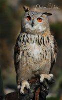 Eurasian Eagle Owl by DYWPhotography