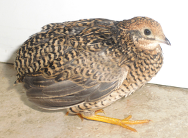 Valentino the Button Quail by KasaraWolf
