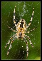 Spider by ivekvatrozic