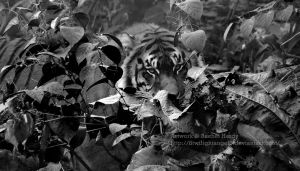Tiger In the Jungle by 8TwilightAngel8