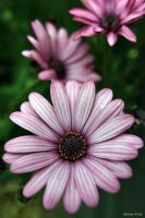 Osteospermum Flower by George---Kirk