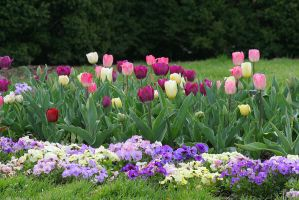 Colorful Tulips by desmo100