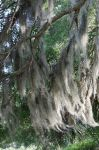 Spanish Moss on Branches (stock)11May 26, 2014 by RustedScrapMetal