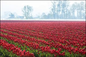 Tulips in the Fog by ricmerry