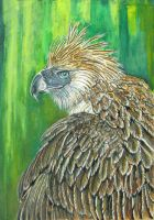 PHILIPPINE EAGLE......DAVIS II by DavisTheSecond