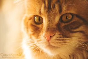 Cat portrait by TammyPhotography