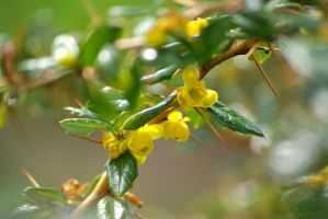 Warty barberry by cheah77
