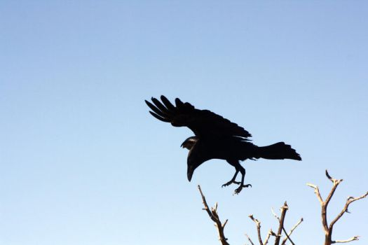 Crow Takeoff by Thea-Bea-Stock