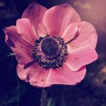 .:: The Humble Pride of an Anemone ::. by WishmasterAlchemist