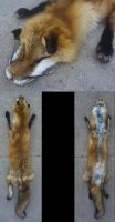 wild red Fox by Tricksters-Taxidermy