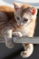 Ginger kitten on chair by westcoastwitch