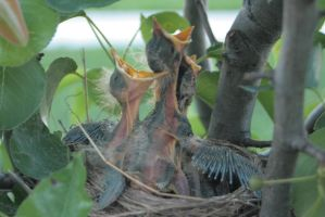 Baby Robins 7 by sd-stock