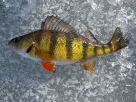 Yellow Perch - Ice Fishing by LeccathuFurvicael