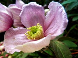 Clematis 3 by Lupsiberg