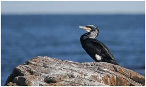 Great Cormorant by Ryser915