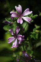 Wild Mallow by George---Kirk