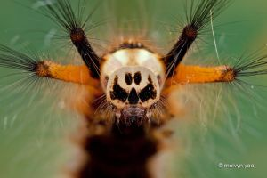 Skull-Faced Caterpillar by melvynyeo