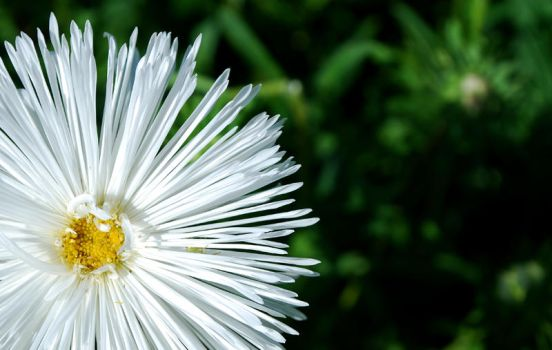 life is a flower_two by madazulu