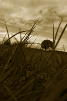 grasses in sepia by lawrenciumLr
