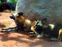 African Painted Dogs by harrie5