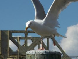 Gull Taking Flight by MdngtRain