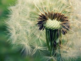 Dandelion blossom by FredyHannover