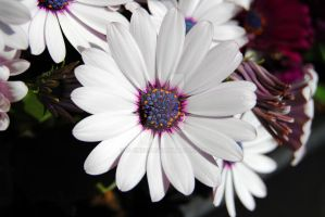 Spanish Marguerite by s-ense