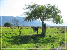 A cow, a tree and a shadow by ViniciusDoideira